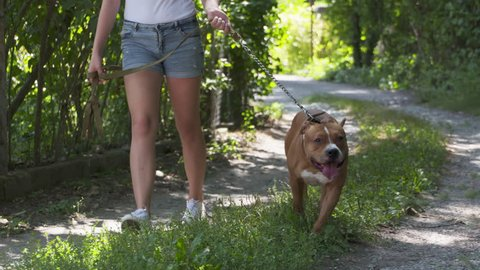 Young girl walks with her american staffordshire terrier dog. Teenage girl walking her amstaff dog on a strong short leash. Pit bull white and brown color.