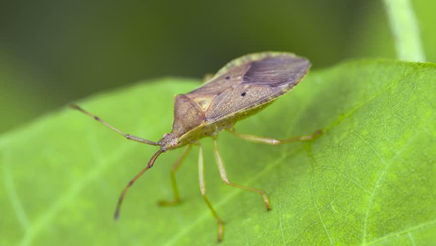 Coreid Bug Definitionmeaning-3019