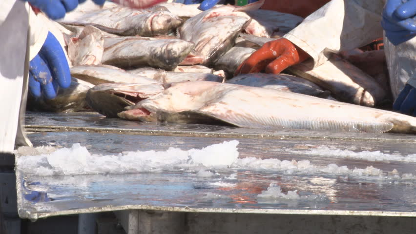 Very close shot of the hands and arms of the fish-sorting crew as they weigh, measure, ice, and organize the halibut catch.
