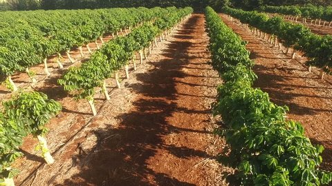 Farm Agriculture Coffee Plants Industrial Food Growth