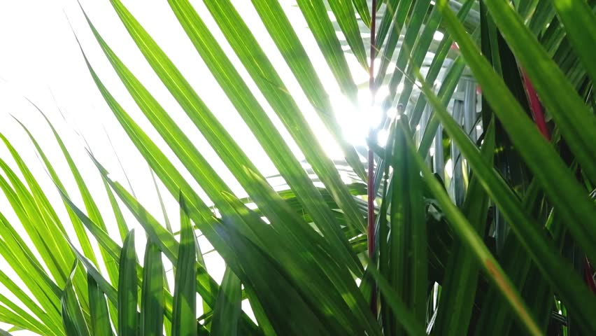 Natural background, tropical palm leaves blowing by wind with sunlight through green leaf . Slow motion