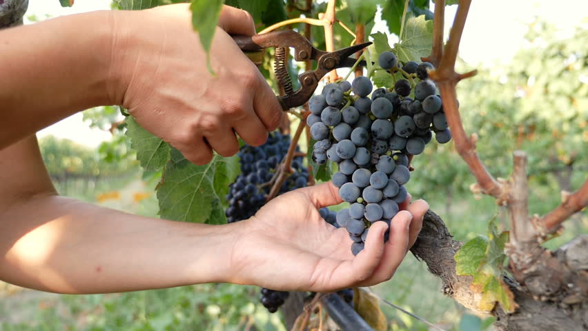 South of Italy: farmer 's hands selecting grapes from a tree during harvest
