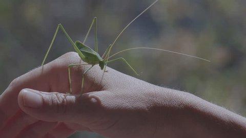 Big Green Bush Cricket, True Katydid, Walking Tentative On Woman's Hand