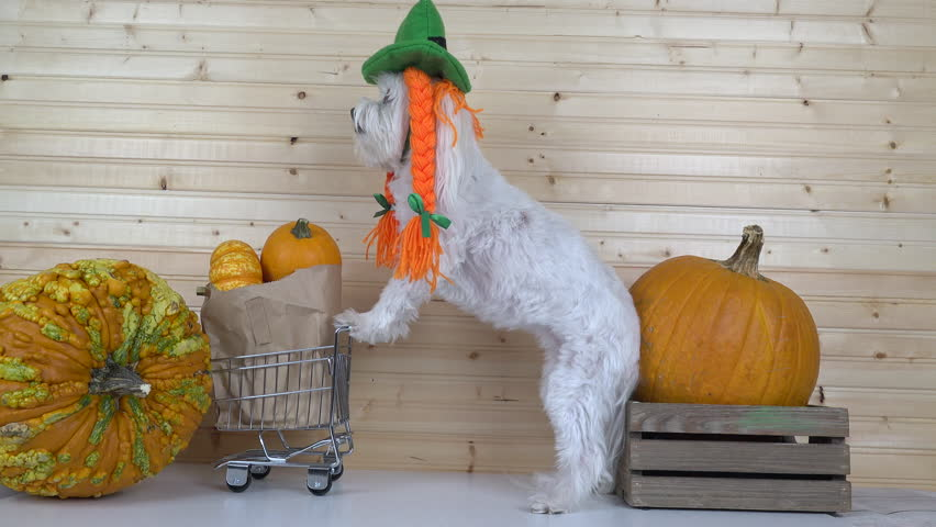 Adorable dog wears fun, Halloween costume hat with bright orange braids,  stands in checkout line, pushes shopping cart filled with seasonal, holiday pumpkins. 4K UHD 3840x2160