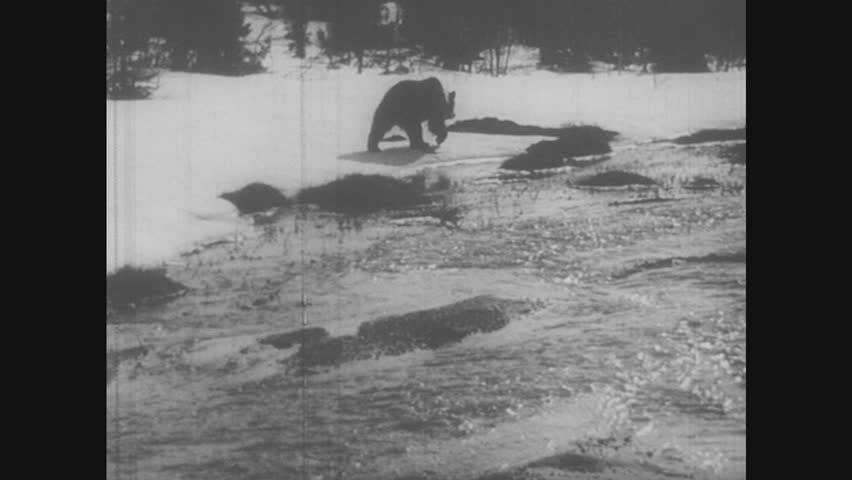 1950s: Man skis across snow, dog follows. Bear paces in front of river. Dog runs through snow. Man and dog stop briefly. | Shutterstock HD Video #31479322