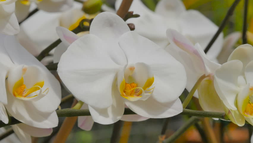 beautiful orchid growing in the tropical garden in Bridgetown, Barbados