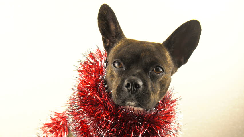 Cute and funny Puppy french bulldog, symbol of New Year 2018, Chinese New Year. | Shutterstock HD Video #31505488