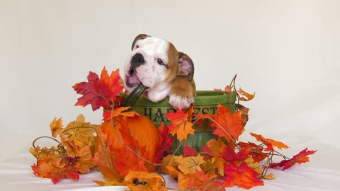 cute puppy bulldog in harvest fall scene chewing on pumpkin