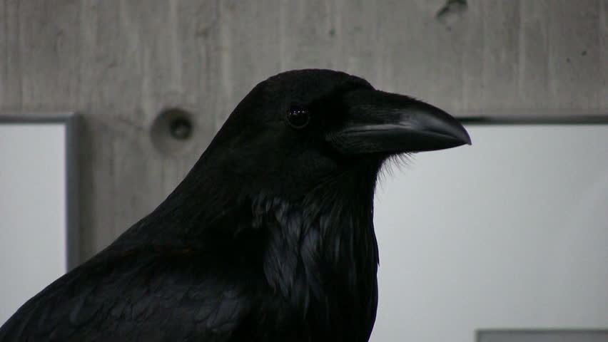 Tight HD clip of the head and shoulders of a very black raven on display inside a local nature center