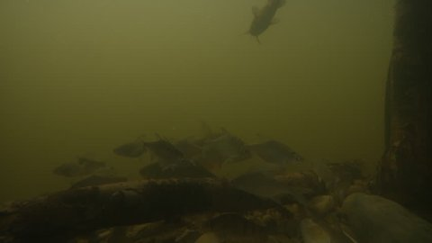 Kingfisher catching fish, Super slowmotion footage, underwater