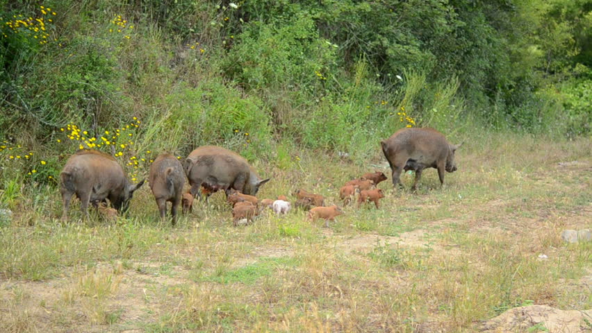 A herd of wild boars wanders along the forest in search of food