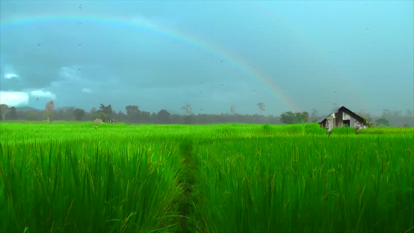 Paddy Rice Field and Rainbow. Stock Footage Video (100% Royalty ...