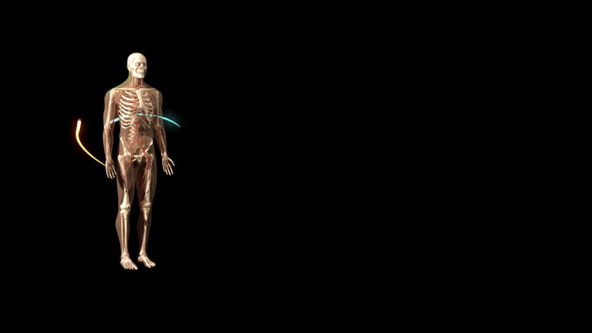 Clockwise rotational 3D visualisation of human man anatomical model showing skeleton, nerves and coloured lines moving against black background with high zoom on head and neck