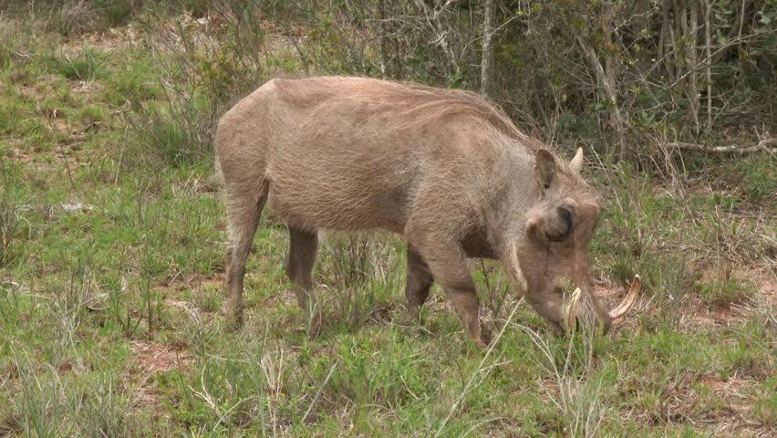 Warthog (Phacochoerus africanus) grazing close-up, Addo Elephant N.P.