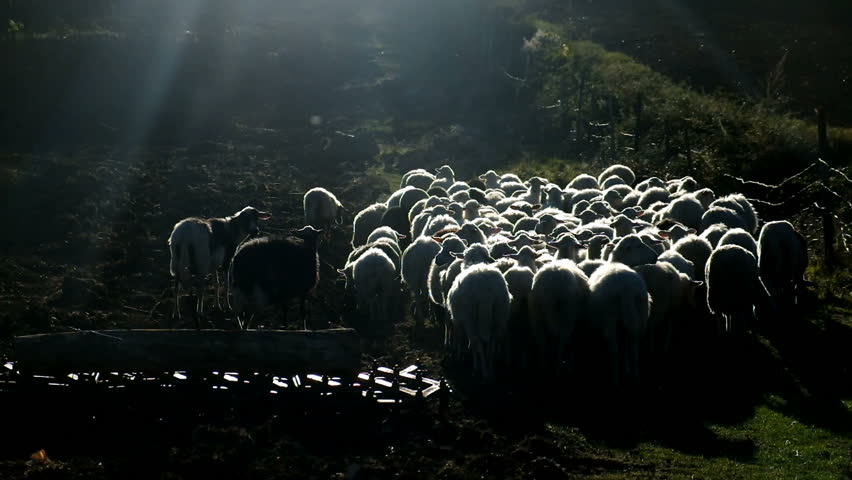 Foreste Casentinesi, Casentino. Italy - circa October 2017 - Silhouette group of sheeps running on a farm. Tuscany hills,