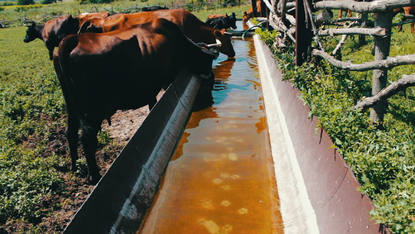 Various large and small cows drink water from a huge iron trough filled with water. Thirst for cattle. Cows on grazing | Shutterstock HD Video #31754662