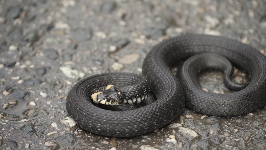 Black natrix. Grass snake curled up on the pavement
