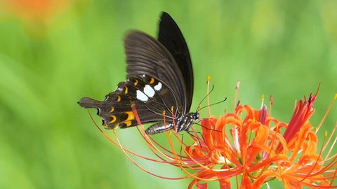 Red Helen Butterfly (Papilio helenus) Feeding on Flower Nectar