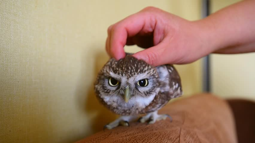 The little owl in the apartment. Stroking owl.