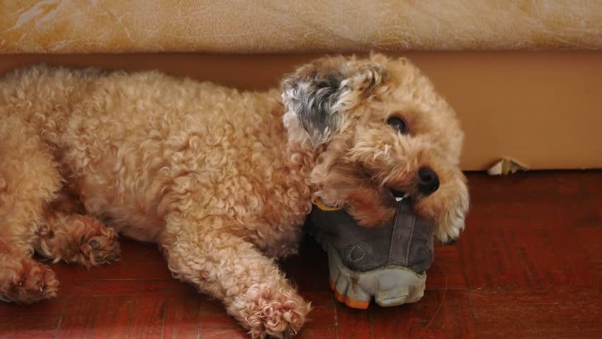Resultado de imagen para poodle toy chewing sad