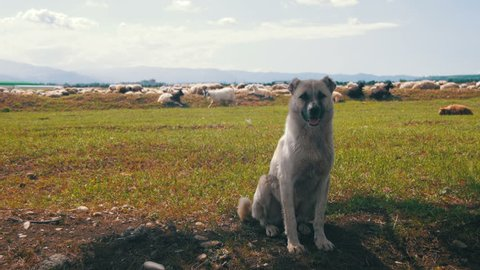 Sheepdog Guarding the Herd of Sheep. Close-up. Dog shepherd grazing sheep in the field. Flock of sheep grazing on a field in mountains. Georgia. Summer, sunny day.