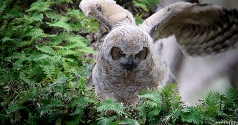 Young Great Horned Owls fluffy baby flapping his wings on a branch in a nice green tree.