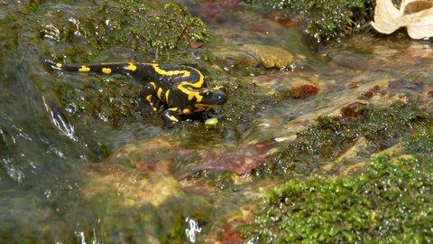 Fire salamander (Salamandra salamandra) in forest stream