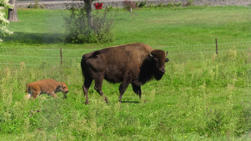 buffalo calf fattening programe biology essay If you know about the diseases of cattle, you can be aware of how best to prevent and treat them many of these diseases can be prevented by good management.
