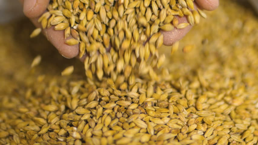 Close up shot of hands of master brewer with barley seeds. Employee examining the barley at brewery factory. | Shutterstock HD Video #31960912