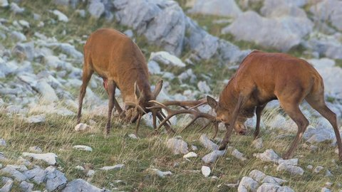 Red Deer stags (Cervus elaphus) fighting during the rutting season
