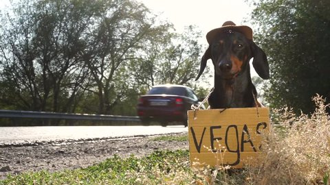 """dog  dachshund breed, black tan, in a cowboy hat, with a cardboard sign """"Vegas"""" hitch-niking on the side of the road against the passing cars"""