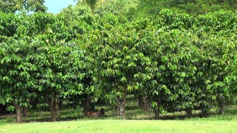 Chicken brood at the Coffee plantation (Coffea arabica). Kona District, Hawaii, USA