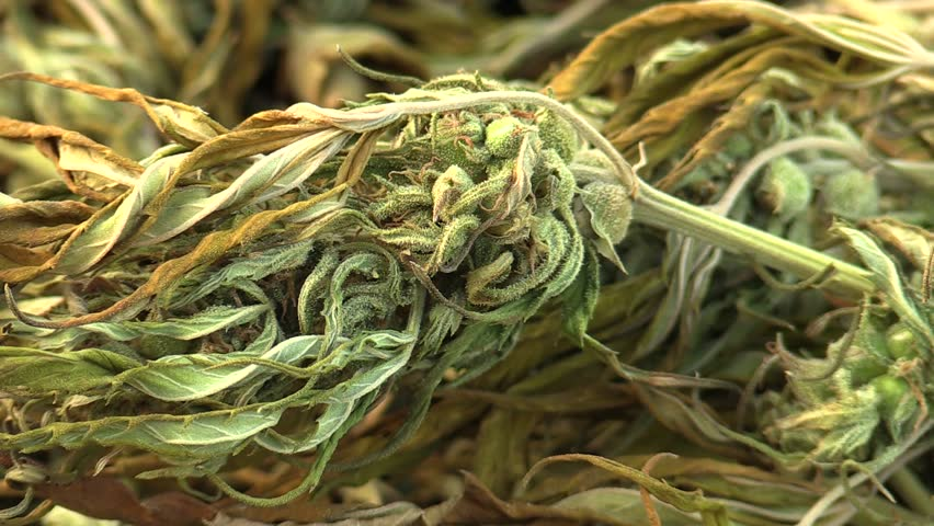 Medicinal cannabis hemp harvested dried a crate of seeds quality for the production of ointments and creams developed by scientists, science modern trend, seeds big bud with pistils, stigmas