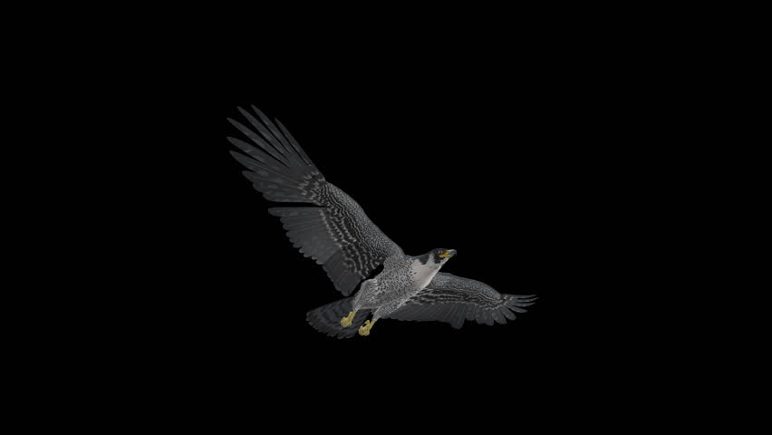 Peregrine Falcon - II - Gliding and Flapping Loop - Down Angle Closeup - 4K UHD resizable realistic cinematic 3D animation of flying bird of prey with alpha channel isolated on transparent background.
