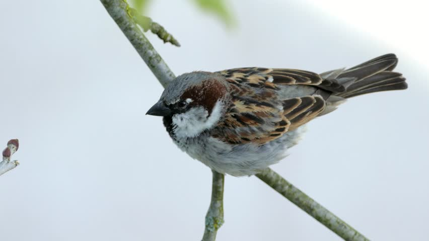 House Sparrow Sitting On A Branch Of Platane Tree And Chirping, Close Up