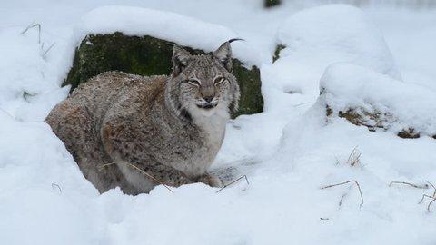 Lynx sit in the snow, winter, europe, (lynx lynx)