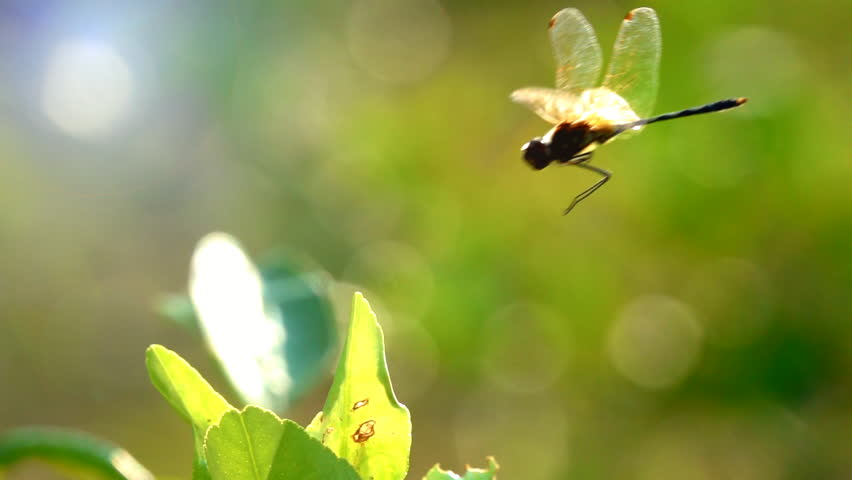 Slow motion beautiful yellow black dragonfly flying catch on tree in beautiful morning sunrise. Dragonfly is characterize large multifaceted eyes two pairs of strong transparent wings colored patches