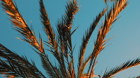 Golden Branches of date palms under blue sky. View into the sky through a date palm in Barcelona. Beautiful film tonned dolly shot.