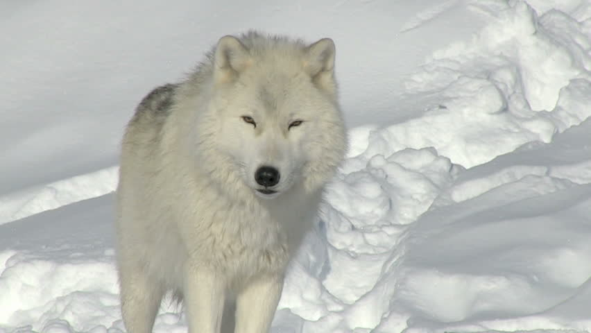 Arctic wolf alpha male standing up and looking at the camera closeup