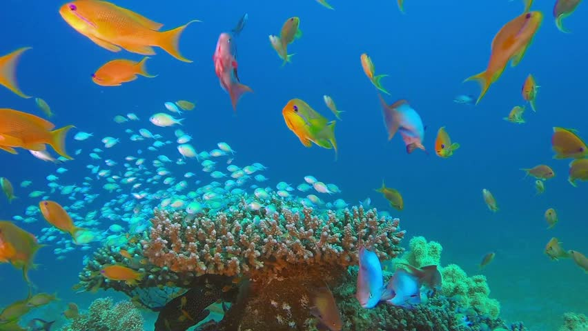 Blue-Green Chromis and Tropical Fishes. Picture of beautiful underwater colorful fishes and beautiful soft and hard corals in the tropical reef of the Red Sea, Dahab, Egypt.