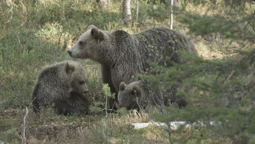 wild european brown bears in finland