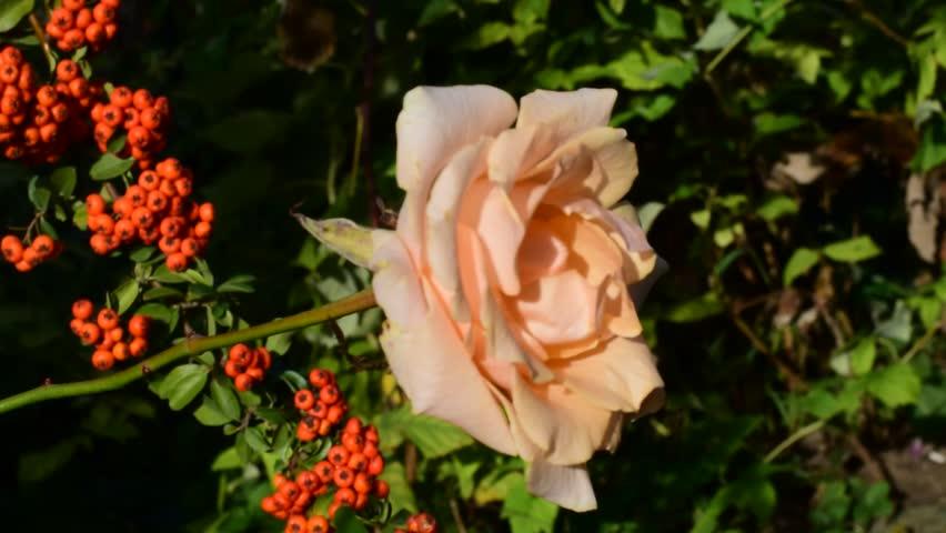 Beautiful rose in my garden   Shutterstock HD Video #32291602
