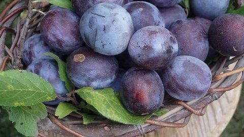Fresh plums in basket on wooden table in garden