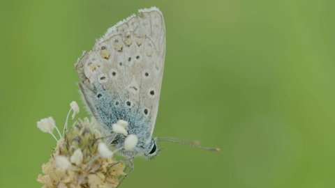 Full Body Silver-studded Blue Butterfly on Plant. Plebejus argus on a plant.