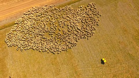Aerial View of Large Sheep Herd Outback Australia