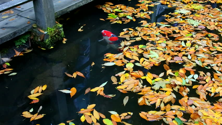 Japanese Garden Many Koi Fish Swimming In Pond And Red