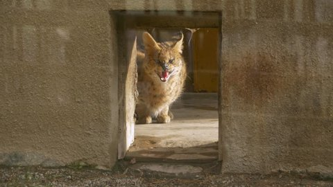 Angry serval (Leptailurus serval) in zoo