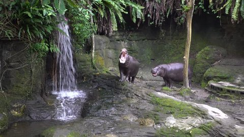 4K Pygmy Hippo open the mouth, threatening sign of its aggressiveness. Defend a territory near waterfall in lake at zoo. Pygmy Hippopotamus is a semi-aquatic mammal native to West Africa, Liberia-Dan
