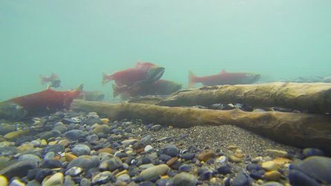 Underwater view of colorful spawning Kokanee Salmon swimming in a river