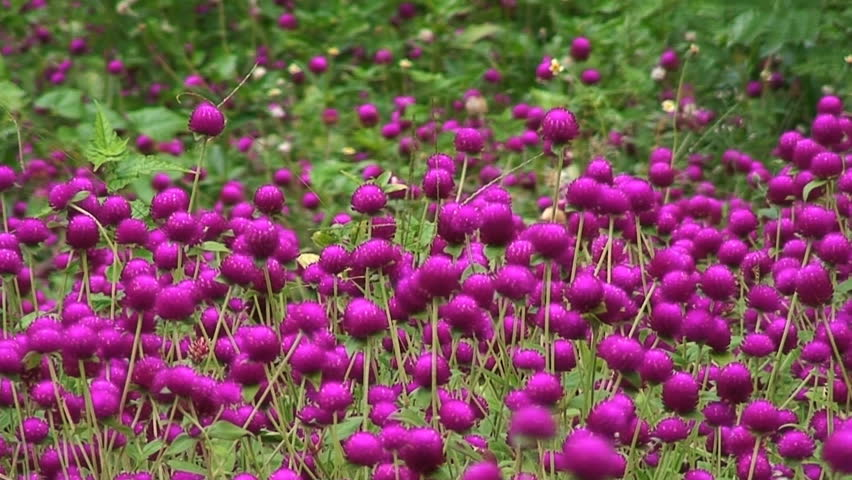 Small Round Flowers Stock Footage Video 100 Royalty Free 32502